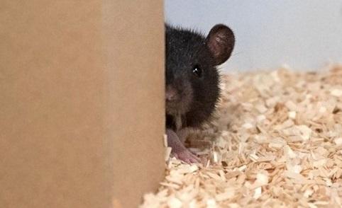 Des chercheurs ont appris à des rats à jouer à cache-cache