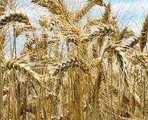 Les effets négatifs du réchauffement sur le blé largement sous-évalués
