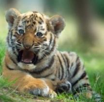 Les tigres n'ont pas de rayures par hasard