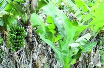 Aziz Akhannouch expose son programme de soutien au secteur agricole : Les producteurs de bananes demandent de déclarer leur secteur sinistré