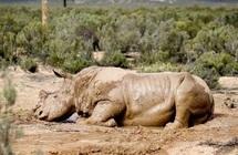 Afrique du Sud: si ça continue, il n'y aura plus de rhinocéros dans quatre ans