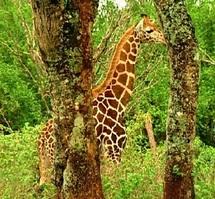 Pourquoi les Nigériens disent merci aux girafes