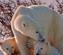 Les ours polaires souffrent d'un mystérieux mal en Alaska
