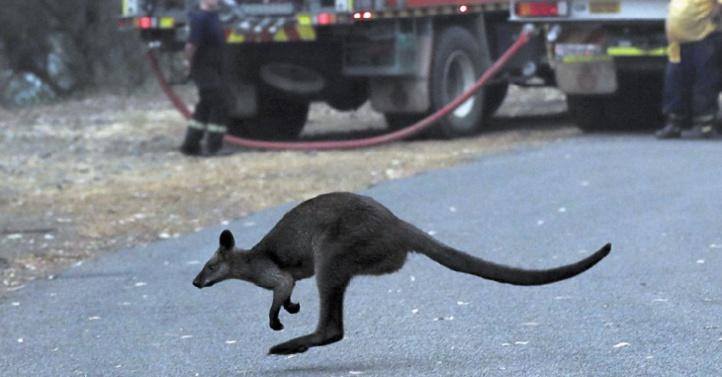 Les incendies en Australie déciment koalas et autres espèces sauvages uniques