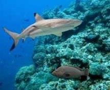 Le nombre de requins de récif dans le Pacifique en forte baisse