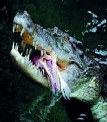 L'Australie envisage des safaris payants pour tuer des crocodiles