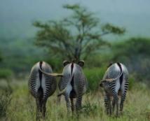 Au Kenya, le bétail et la démographie menacent les derniers zèbres de Grévy