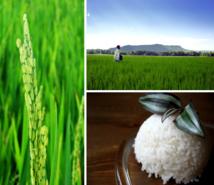 Un nouveau dispositif pour mesurer rapidement la radioactivité du riz