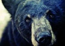 L'ours noir sait-il compter ?