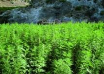 La résine commence à perdre une part de marché au profit de l'herbe cultivée : Le Maroc, premier pourvoyeur de cannabis vers l'Europe