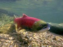 Le saumon rouge en déclin dans  le Pacifique nord-américain