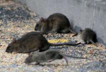 Les rats envahissent les maisons britanniques