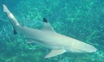 Faut-il continuer à protéger le requin en Australie ?