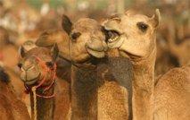Malgré la sècheresse, les chameaux toujours nombreux en Australie