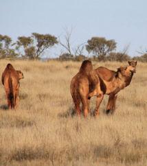Assoiffés, les dromadaires sauvages assèchent les oasis australiennes