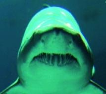 Les requins n'ont pas besoin de dentifrice