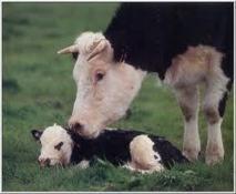 L'amitié entre vaches est essentielle pour leur santé