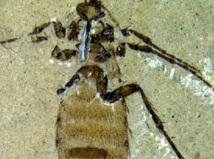 Découverte du fossile d'un insecte vieux de 365 millions d'années