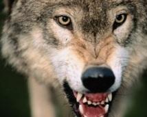 Insolite : Des loups pour surveiller des hommes