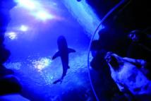 Le requin dix fois moins dangereux que les méduses
