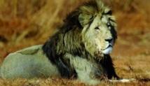 Les lions sud-africains recherchés pour leur os