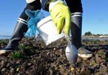 Surexploitation des gisements de moules : Le braconnage du littoral menace l'écosystème marin