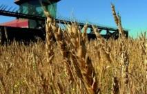 Flambée des cours mondiaux des céréales et des oléagineux  : La sécurité alimentaire nationale en jeu