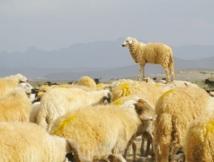 Le cheptel marocain indemne de toute peste des petits ruminants : L'Office national de la santé animale rejette les allégations algériennes