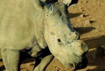 Rhinocéros braconnés en Afrique du Sud : Un nouveau record attendu en 2012