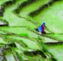 Un simple gène pour doper les rendements  des riziculteurs