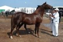 Equitation : Concours d'élevage du cheval arabe barbe