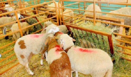 Les marchands de bétail retrouvent le chemin du souk Lakhoualqa à Youssoufia