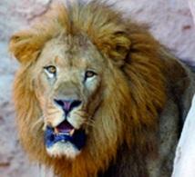 Le zoo de Rabat veille sur  les derniers lions de l'Atlas