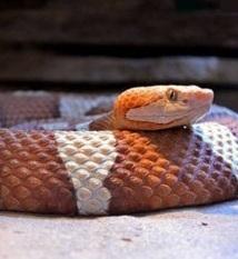 Certains serpents sauvages peuvent se reproduire sans mâle