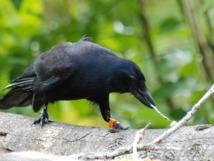 Les corbeaux posséderaient la notion de causalité