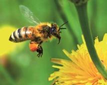 En Alsace, une colonie d'abeilles produit un mystérieux miel bleu