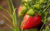 """Le secteur des fruits rouges a besoin de """"reconnaissance et d'encouragement"""""""
