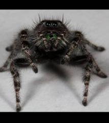 Pourquoi les araignées  ont-elles autant de paires d'yeux ?