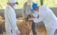 Pour l'ONSSA, la Fête du sacrifice s'est déroulée dans de bonnes conditions d'hygiène et de santé animale