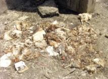 Reportage : Le marché des volailles de Hay Mohammadi fait encore des siennes :  Le calvaire des habitants de La Villette perdure