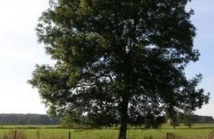 100,000 arbres abattus :  au Royaume-Uni à cause d'un champignon
