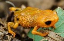 Une petite grenouille à trois doigts découverte dans le sud du Brésil