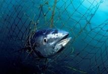 Quotas de thon rouge : Les ONG haussent le ton à la réunion d'Agadir