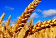 Les prix des céréales demeurent  presque inchangés à l'échelle mondiale