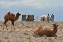 Fin de la traversée du désert  pour l'ADN du chameau