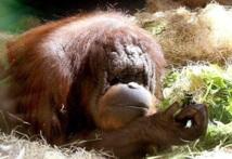 Les singes connaissent la crise de la quarantaine