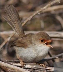 Des oiseaux se transmettent un mot  de passe pour détecter les intrus