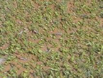 La vigilance sera de mise en cas de nouvelles pluies : La menace acridienne se précise