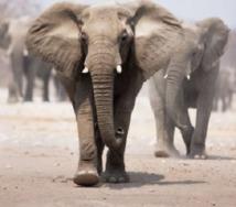 Le Botswana, paradis des amateurs  de grand gibier, va interdire la chasse