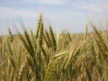 Un pas décisif franchi dans la cartographie du labyrinthique génome du blé